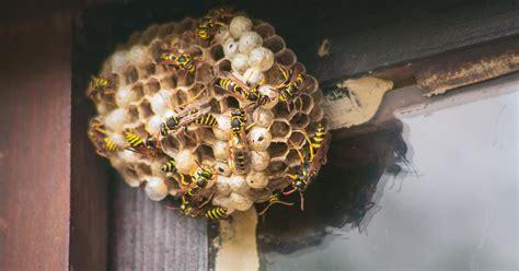 wespennester entfernen und umsiedeln mein schoener garten