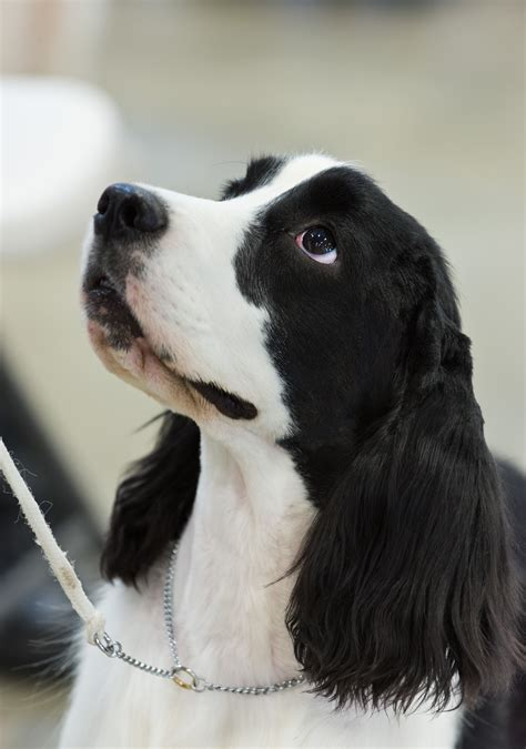 Field Bred English Springer Spaniel Puppies   All About Puppies