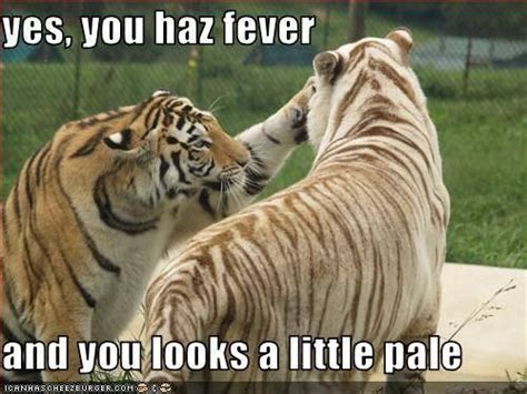 Funny Tiger Memes - tiger fever tiger meme work pinterest tigers and meme