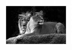 Schwarz Weiß Bilder Tiere : l wenpaar in schwarz weiss foto bild tiere zoo wildpark falknerei s ugetiere bilder auf ~ Markanthonyermac.com Haus und Dekorationen