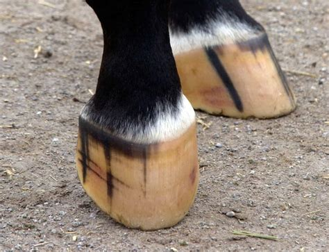 hoof horse hooves horses anatomy equine healthy foot care conformation thehorse exam physical feet shoe adaptability smart balance health dr