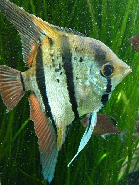 poisson d aquarium d eau douce chaude les 37 meilleures images 224 propos de animaux poisson eau douce sur poisson tropical
