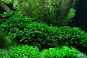 Moos Für Aquarium : phoenix moos fissidens fontanus portion pad aquariumpflanzen bodendecker und aquarium moose ~ Frokenaadalensverden.com Haus und Dekorationen