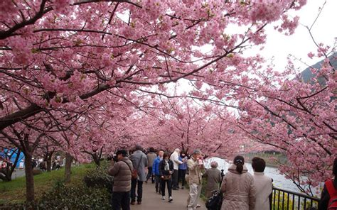ketika masyarakat jepang merayakan mekarnya bunga sakura