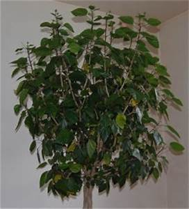 Taille De L Hibiscus : l 39 entretien et taille des hibiscus ~ Melissatoandfro.com Idées de Décoration