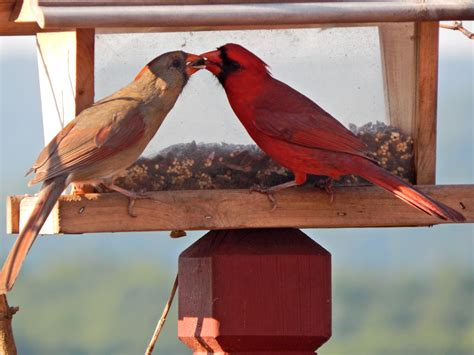 northern cardinals know how to shake their tail feathers