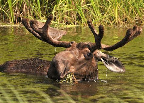 moose alaska bull fairbanks canada explorer wildlife arctic guided majestic head near itinerary holidays region travel tour audleytravel