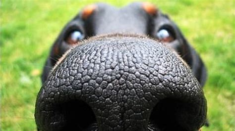 identify  dog breed   nose quiz