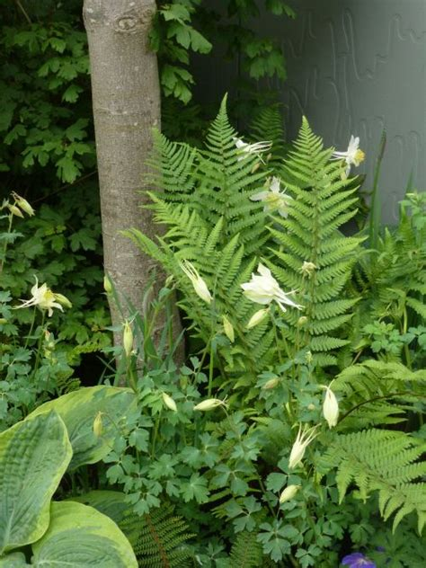 ferns for shade garden ferns and aquilegias great combination for a shade garden shade plants pinterest fern