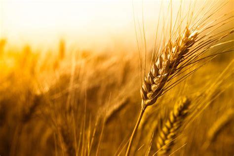 canadian wheat improvement program national research