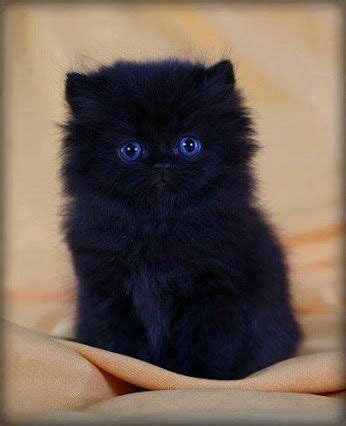 321 best images about pretty blue on cats white kittens and pretty