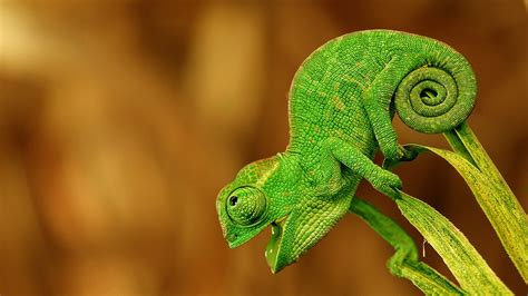 chameleon wallpaper hd pixelstalknet