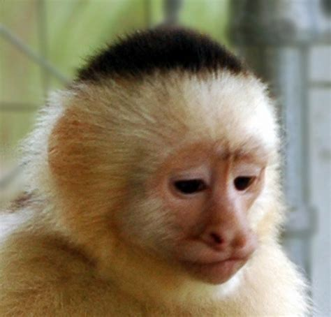 capuchin monkey capuchin monkey a description