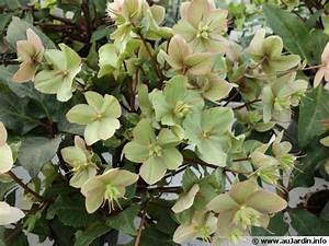 Rose De Noel Synonyme : hell bore noire rose de no l helleborus niger planter cultiver ~ Medecine-chirurgie-esthetiques.com Avis de Voitures