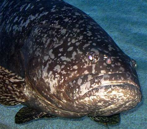 grouper fish giant massive round dark biggest factzoo sea coral gulf spotted largest facts bony gray fishing florida found pacific