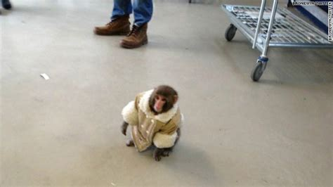 Judge Rules Ikea Monkey To Remain At Sanctuary