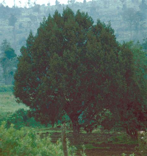 juniperus procera wikipedia