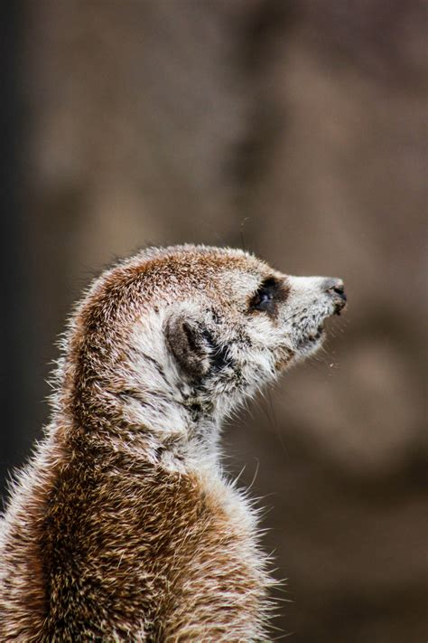 Close Up Photography of Lemur during Daytime · Free Stock