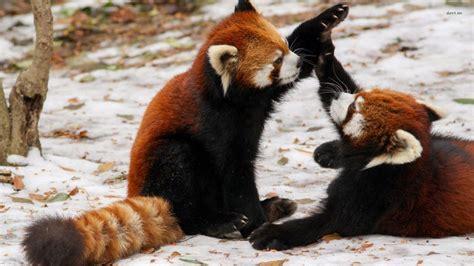 red panda wallpaper hd