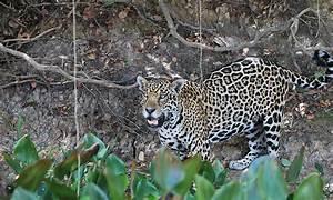 Jaguar | Defenders of Wildlife  Jaguar