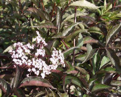 holunder black essbar schwarzer holunder sambucus nigra black laubgeh 246 lze meylan baumschulen shop