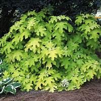 little honey hydrangea Hydrangea Little Honey | Garden Plants - Present & Future ...