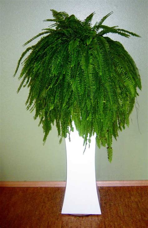 low light ferns 17 best images about house and tropical plants on pinterest tropical gardens lobster claws