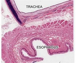 Epithelial Tissue | histology