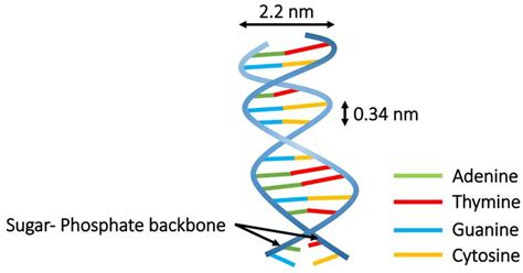 The Double-helical Structure Of Double-stranded Dna. The
