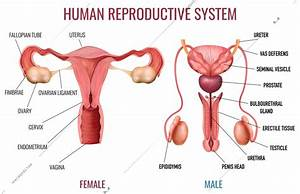 Realistic Set Of Male And Female Human Reproductive System