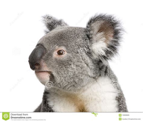 koala bears  front   white background stock image