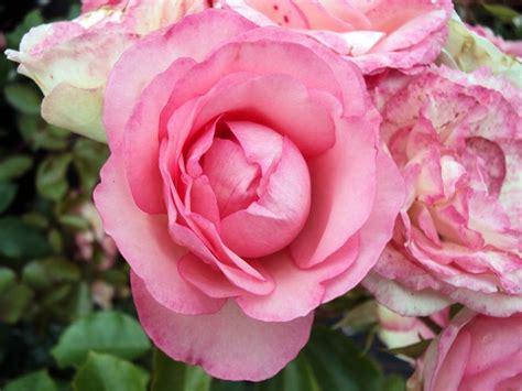 Kletterrose Mini Eden Rose 1795 € Kletterrose Rosen