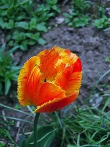 Tulpen Im Garten : tulpen als zierpflanzen im garten nat rlich g rtnern ~ A.2002-acura-tl-radio.info Haus und Dekorationen