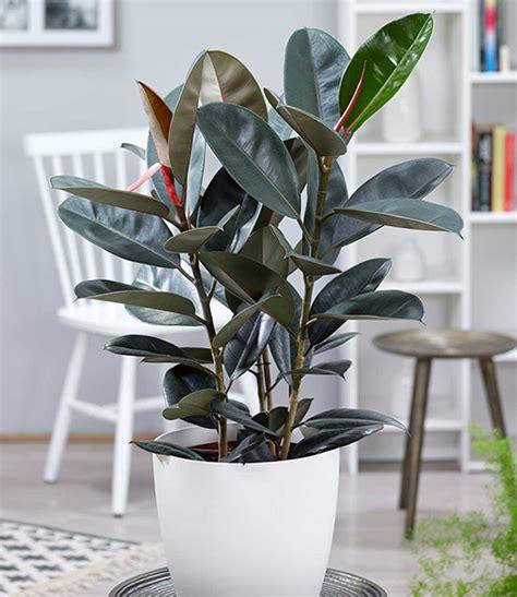gummibaum abidjan ca  cm hoch  zimmerpflanzen