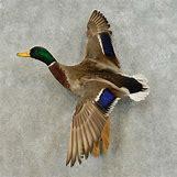 Drake Mallard Duck   1000 x 1000 jpeg 408kB