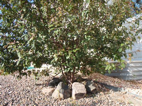 how to prune crabapple tree pruning overgrown crabapple trees ask an expert