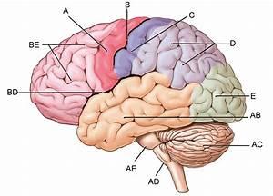 Label The Brain Quiz