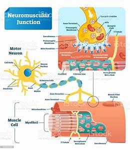 Neuromuscular Junction Vector Illustration Scheme Labeled