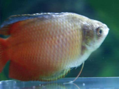 pathologie des poissons les maladies