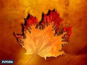 fond d39ecran feuille d39erable en automne With forum plan de maison 13 fond decran feuilles dautomne