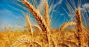 Barley Planting  Nutrition And Harvesting