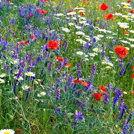 partial shade wild flower garden mix  oz mixture