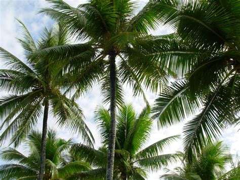 Palm trees on Kwajalein, the Marshall Islands. | The ...