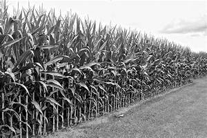 Cornfield Black And White Photograph by Frozen in Time ...