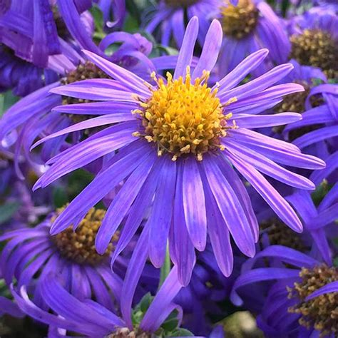 when to divide asters buy aster aster amellus king george delivery by crocus