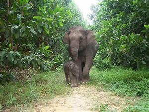 Sumatran Elephant   Species   WWF