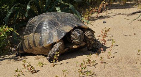 tartaruga terrestre alimentazione tartarughe di terra razze alimentazione e come allevarle