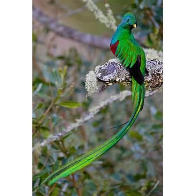 Resplendent QuetzalRemarkable Pictures