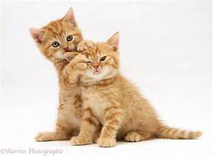 WP23962 British Shorthair red tabby kittens. #tuxedocat ...