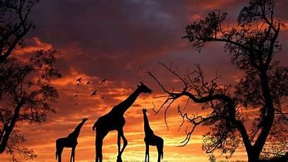 Giraffe Desktop Wallpapers Sunset Resolution Giraffes Cool